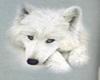 White Wolf7