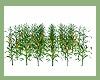{CPB} Corn Field