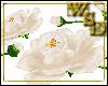 Floor Roses - Cream