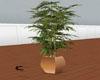 extasis plants