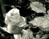 Black & White Rose 2