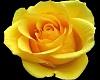 ^LT^Falling Yellow Roses