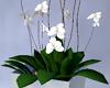 Penthouse Orchid Plant