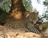 Leopard BG