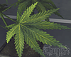 Colombian Marijuana