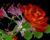 LW - My last roses 3