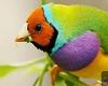 Gould Diamond Bird