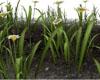 MARGARET FLOWERS (KL)