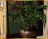I~Fall China Doll Plant