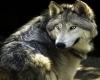 ~GgB~ Wolf Grey