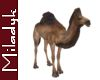 MLK Ani Camel