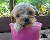 Dog in a Cup