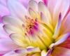 T4} PIC flower l/purple