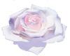 Rose Cloud Flower