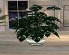 Aspen Plant