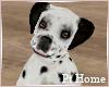 Dalmation Dog Sitting