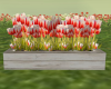 Red + White Parrot Tulip
