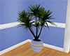 Blue Beach Yucca Planter