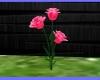 AMC Pink Rose