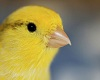 [Cyn] Canary Tail