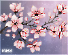 Big Sakura Blossoms