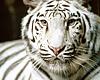 White Tiger Poster 2